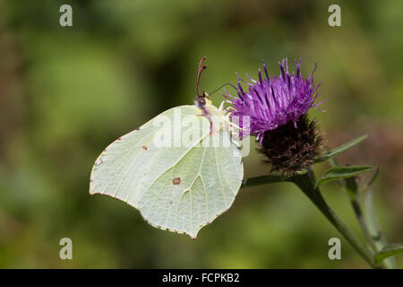 Brimstone Butterfly; Gonepteryx rhamni Single Female on Flower; Cornwall; UK - Stock Photo