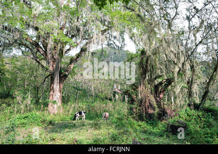Cows grazing upon fresh grass in the fairytale like forest near Matagalpa in Nicaragua - Stock Photo