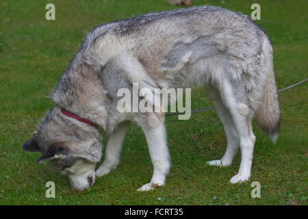 Siberian Husky. Dog. Canis familiaris. Rear left flank, showing hair moulting of coat. Darker grey hair areas are - Stock Photo