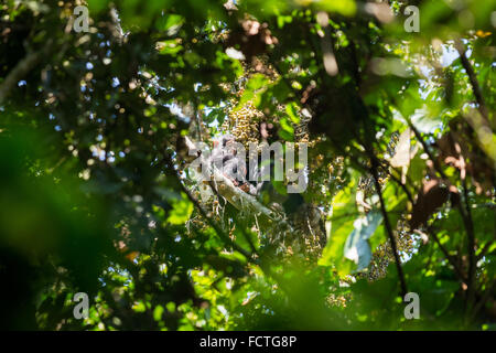 Chimpanzee (Pan troglodytes) in the trees in the Kyambura River Gorge in Queen Elizabeth National Park in western - Stock Photo