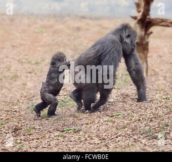 Gorilla Female with Her Baby Walking - Stock Photo