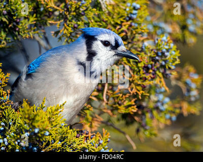 Blue Jay in Tree with Berries - Stock Photo
