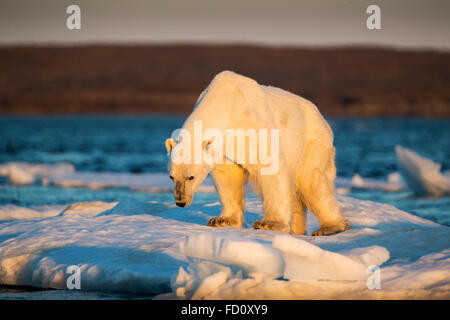 Canada, Nunavut Territory, Adult male Polar Bear (Ursus maritimus) standing at edge of drifting pack ice near mouth - Stock Photo