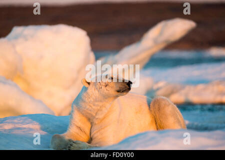 Canada, Nunavut Territory, Adult male Polar Bear (Ursus maritimus) resting on drifting pack ice near mouth of Wager - Stock Photo