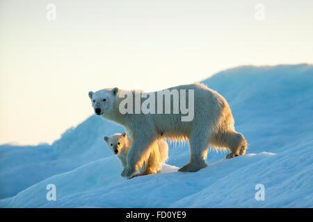 Canada, Nunavut Territory, Repulse Bay, Polar Bear and Cub (Ursus maritimus) walking on sea ice at sunset near Harbour - Stock Photo