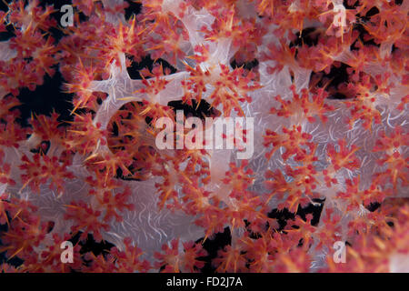 Red tree coral (Dendronephthya) on a Fijian reef. - Stock Photo