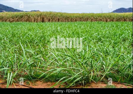 Sugarcane growing in Lubombo, Swaziland, Africa. - Stock Photo