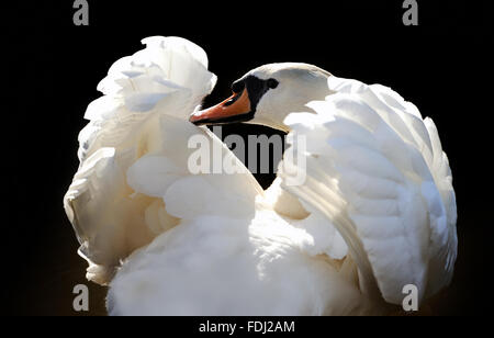 Swan in lake on dark background - Stock Photo