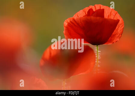 Close view of Papaver rhoeas, the common poppy, at West Pentire, near Newquay, Cornwall. The poet Laurence Binyon - Stock Photo