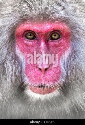 Close-up portrait of a snow monkey, Nagano, Honshu, Japan - Stock Photo