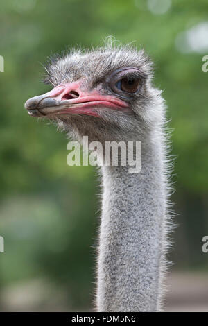 Ostrich head close up - Stock Photo