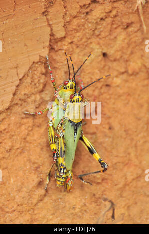 Zonocerus variegatus: Two African Variegated Grasshoppers mating - Stock Photo