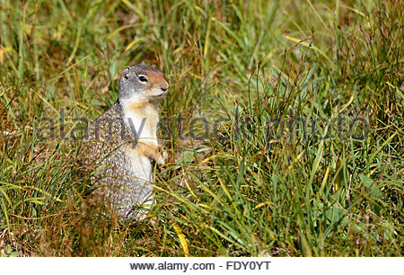 An adorable Columbian ground squirrel (Urocitellus columbianus) stands among grass on its hind legs in Glacier National - Stock Photo