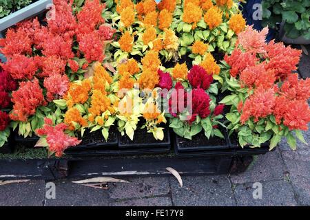 Celosia argentea or Cockscomb flowers - Stock Photo