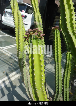 Euphorbia royleana with 5-7 angled cactus like stems with spines along angles, large spoon shaped leaves Himalayan - Stock Photo