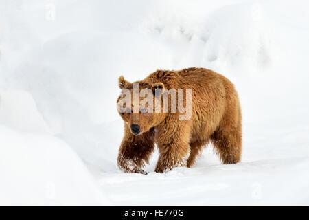 Syrian brown bear (Ursus arctos syriacus) walking through snow, Canton of Schwyz, Switzerland - Stock Photo