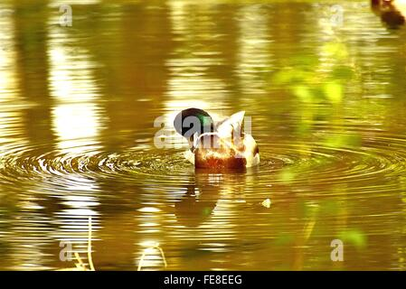 High Angle View Of Mallard Duck Swimming In Pond - Stock Photo