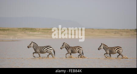 Three adult plains zebra running across river in the Serengeti National Park Tanzania - Stock Photo