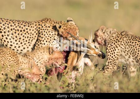 Four Sub Adult Cheetah feeding on gazelle in the Serengeti National Park Tanzania - Stock Photo