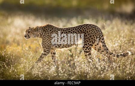 Female Cheetah in the Serengeti National Park Tanzania - Stock Photo