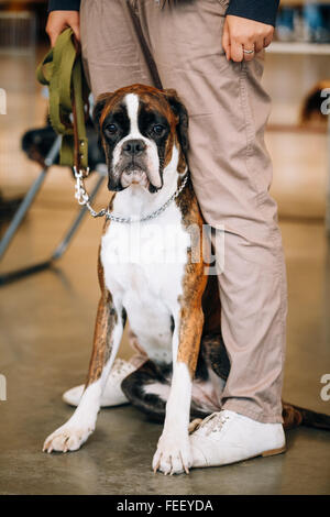 Boxer Dog Sitting near Owner. The Boxer is a breed of medium-sized, short-haired dogs developed in Germany - Stock Photo