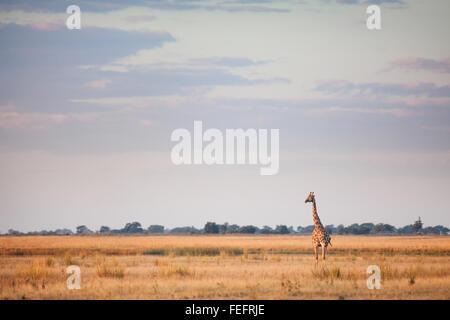 Giraffe in African bushveld - Stock Photo