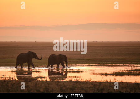 Two elephants in sunset - Stock Photo