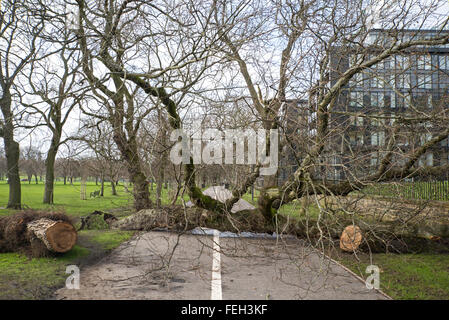 Trees blown over by storms block the pedestrian and cycle track on the Meadows, Edinburgh, Scotland, UK. - Stock Photo