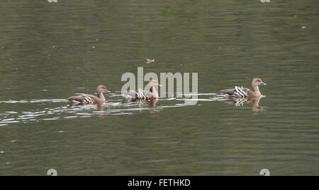 Plumed Whistling-ducks (Dendrocygna eytoni), Hasties Swamp, Atherton Tablelands, Queensland, Australia - Stock Photo