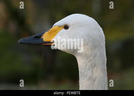 Eurasian Bewick's Swan (Cygnus bewickii, Cygnus columbianus bewickii), closeup of the head, seen in profile - Stock Photo