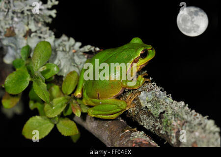European / Common tree frog (Hyla arborea) sitting on lichen covered branch and looking at full moon at night - Stock Photo