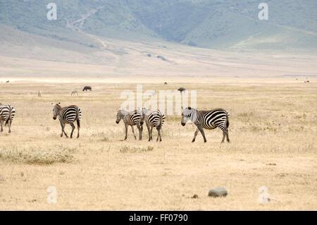 Zebra in Ngorongoro crater - Stock Photo