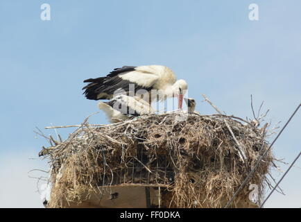 White stork (Ciconia ciconia) with chicks in nest in Northern Greece - Stock Photo