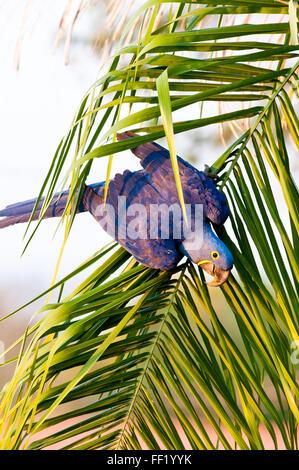 Hyacinth macaw (Anodorhynchus hyacinthinus) in palm tree in the Brazilian Pantanal - Stock Photo