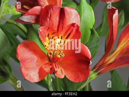 Red Alstroemeria (Peruvian Lily) - Stock Photo