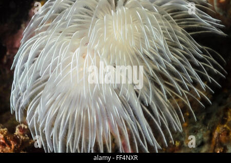Magnificent tube worm, Protula magnifica, Moalboal, Tuble, Cebu, Philippines - Stock Photo