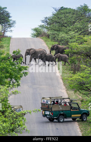 Jeep safari watching elephant in Kruger national park, South Africa ; Specie Loxodonta africana family of Elephantidae - Stock Photo