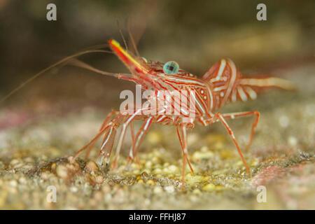 Durban Dancing Shrimp - Rhynchocinetes durbanensis - Stock Photo