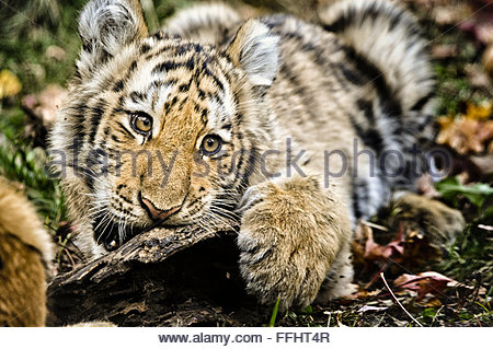 Five month old Amur or Siberian Tiger Cub, Panthera tigris altaica, mouth open, biting, Bronx Zoo, New York City, - Stock Photo