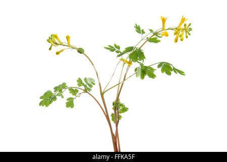Twig of fresh flowering Rue at white background - Stock Photo