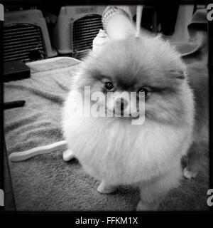 Backstage at the Westminster Dog Show 2016 in new York city. - Stock Photo