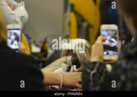 Onlookers take photos of Sage, a shitzu, backstage of the 2016 Westminster Dog Show. (Photo by Shoun A. Hill) - Stock Photo