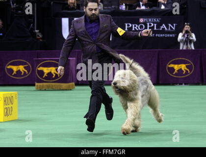New York, USA. 15th February, 2016. CH Aberdeen's Ultimate Addiction, an Otterhound in the Hound Group Competition - Stock Photo