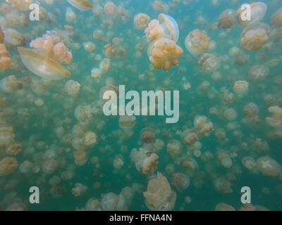 Jellyfish Lake in Palau, Micronesia, Pacific Ocean. Golden jellyfish swimming underwater, marine life, animals - Stock Photo