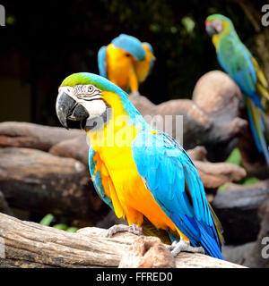 Blue-and-yellow macaw or blue-and-gold macaw (Ara ararauna) - Stock Photo