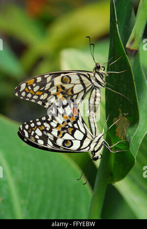 Lime butterfly mating Butterfly park Bannerghatta in Bangalore at Karnataka India Asia - Stock Photo