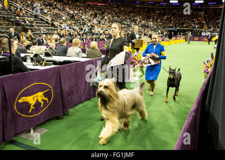 New York, USA. 16th February, 2016. 140th Westminster Kennel Club Dog show in Madison Square Garden - Stock Photo