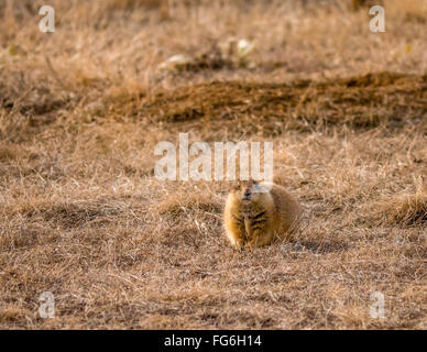 Prarie Dog on guard in brown, dry grass - Stock Photo