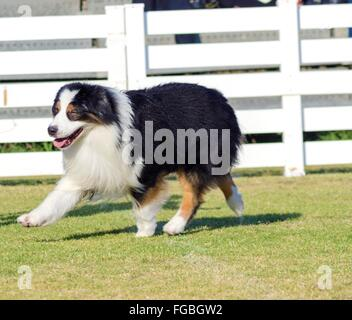 A young, healthy, beautiful, black, white and red Australian Shepherd dog walking on the grass looking very calm - Stock Photo