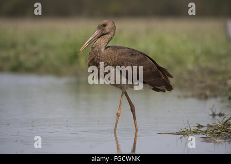 Black Stork (Ciconia nigra) juvenile, walking in water, Hortobagy N.P., Hungary, April - Stock Photo